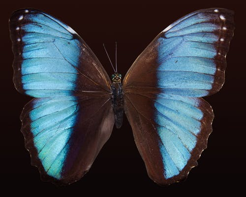butterfly-exotic-south-america-amazon-66877